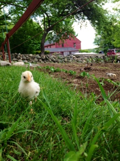 little chick and garden