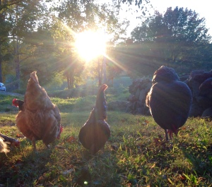 chickens in the light