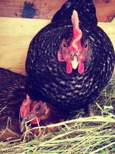 Broody chickens competing for nest space