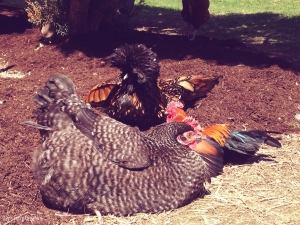 Marans, Polish, and Old English Game dust-bathing together