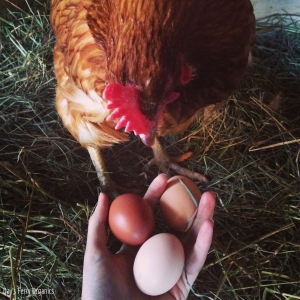 Big Red, our Red Star hen