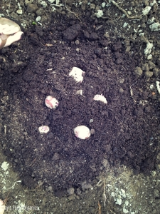 Spuds placed in the compost, ready to be framed.