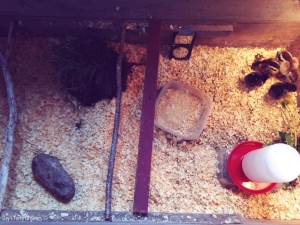 Our brooder set up for chicks over a week old: roosts, dirt, grass, herbs, and mirror.