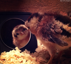 Our curious Modern Game chick, admiring its reflection