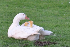Embden goose with goslings.
