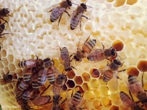 Worker bees sealing up honey comb.