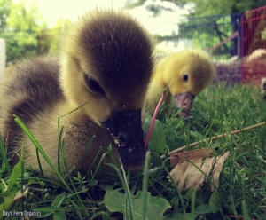 Goslings love access to fresh grass.