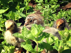 Free range, happy chicks