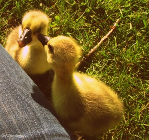 Mr & Mrs Goose as goslings, two years ago.
