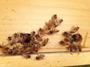 Once the hive is big enough, open all entrances to allow the bees full access.
