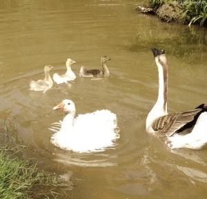 Five goose varieties swimming in the pond.