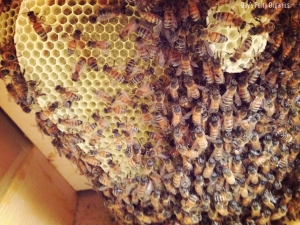 Bees busily working on comb in the hive.