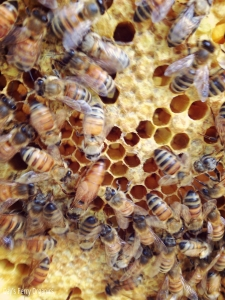 The queen is in the lower right hand of this short - note the long, solid color body.