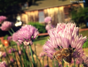 A worker bee enjoying a chive blossom.