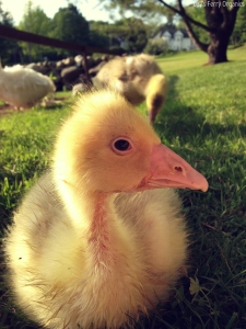 Penelope is a Roman Tufted gosling.