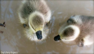 Our first pair of African goslings: Mr. and Mrs. Goose.