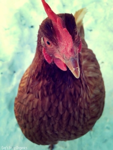Red, our dutiful, mealworm-loving hen.
