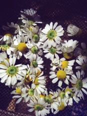 Freshly picked chamomile flowers, ready to be dried