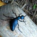 bug-ground-beetle-380