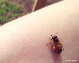 A honey bee after a day's foraging.