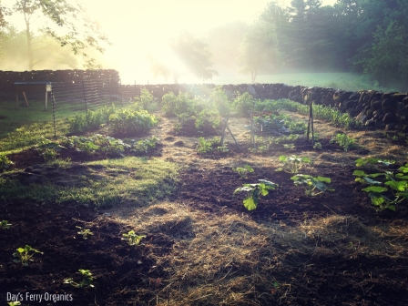 Our vegetable garden in the early morning light.