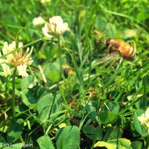 A bee coming up to a clover blossom.