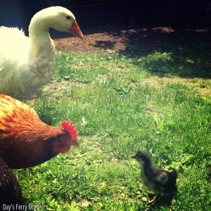 Trouble in paradise: fortunately this little one had a mama hen nearby to protect her from Big Red.