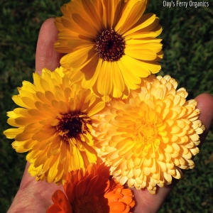Freshly picked calendula blossoms