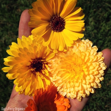 In the herb garden, we are harvesting calendula blossoms for salves.