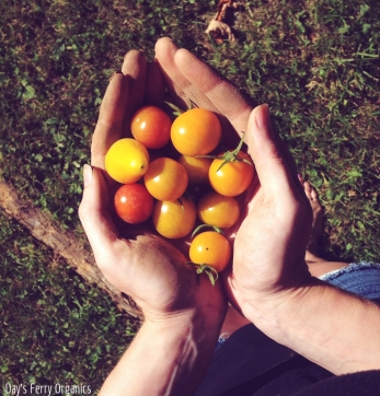 An abundance of cherry tomatoes in all of the shades of red and orange.