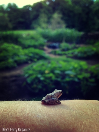 This little fellow is one of several toads that make our garden home.