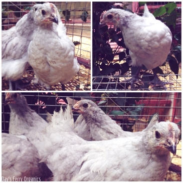We added a quartet of Lavender Orpingtons to our flock of chickens, hopefully increasing egg production next spring.
