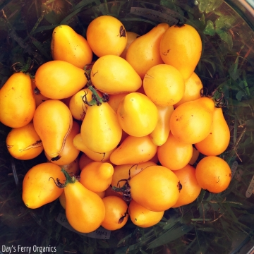 A harvest of heirloom yellow pear tomatoes - perfect for salsa or sliced in a salad.