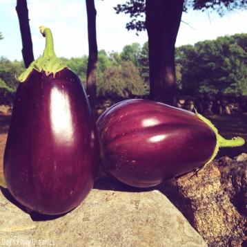 We've had plenty of eggplants to harvest this summer.