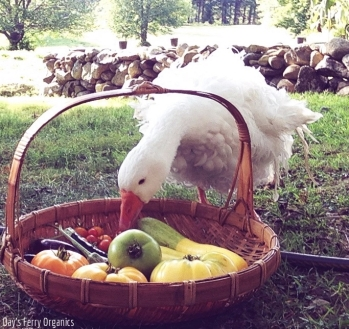 Rupert, our Sebastopol, has been inspecting every harvest.