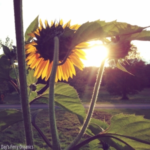 Tall and elegant, sunflowers are always looking towards the sun.