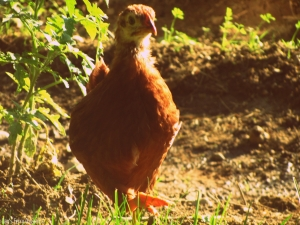 Big Red, our Red Star sex-link pullet.