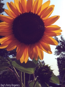 Sunflowers are also a great plant to attract and aid honeybees.