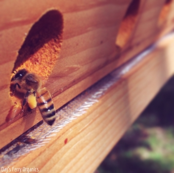 A fully loaded honeybee returning to the hive. We look forward to harvesting some honey this month!