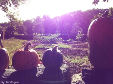 We recently brought in our crop pumpkins - a sure sign of fall!