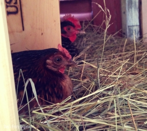 Nesting boxes occupied by happy hens