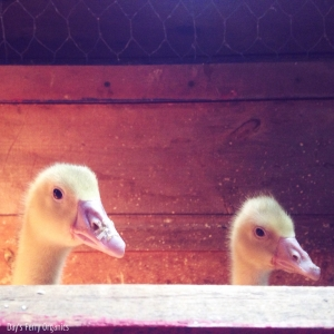 Goslings in a brooder.