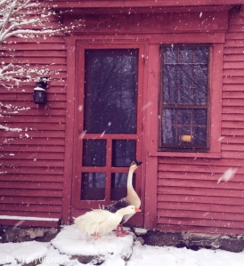 Rupert the Sebastopol and Lady Goose, a Brown Chinese, during our first snowstorm of 2015.