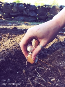 Planting garlic is quick and easy to do.