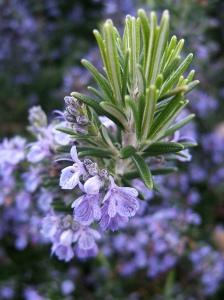 Rosemary in bloom.