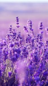 The unique color of lavender blossoms