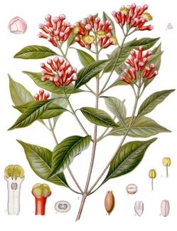 Syzygium_aromaticum_-_Köhler–s_Medizinal-Pflanzen-030