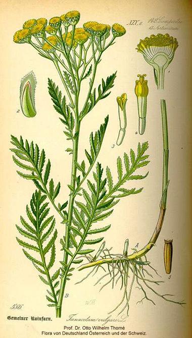 Tansy (Tanacetum vulgare L.)