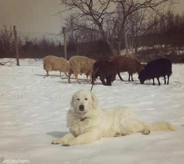 Maremma Sheepdog guarding her flock